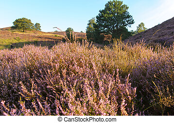 Exciting Landscape - The Posbank is a particularly heathland...