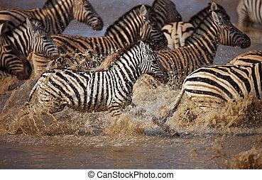 executando, através, zebra, água
