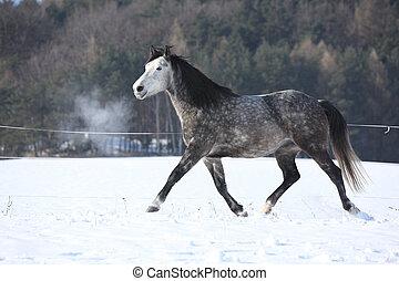 executando, cavalo, inverno, cinzento