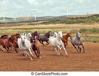 executando, espanhol, cavalos, herd., andalusia., espanha