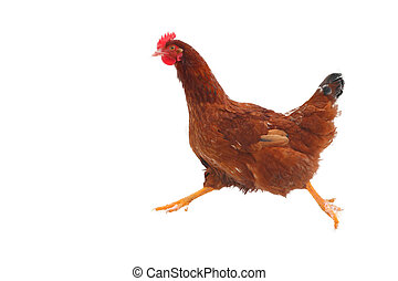 executando, galinha, -, isolado