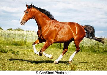 executando, purebred, cavalo