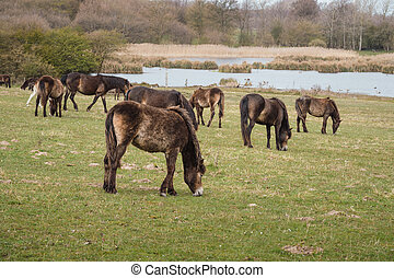 Exmoor ponies in Denmark - Wild Exmoor ponies on a meadow in...