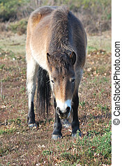 Exmoor Pony grazing