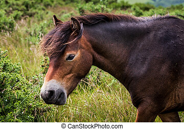 Exmoor pony - wild ponies stood on top of Porlock Hill, ...