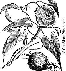 Exogonium purga or Ipomoea jalapa vintage engraving -...