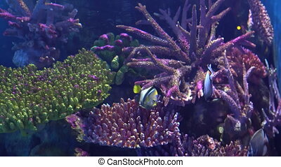 Exotic Angelfish, Pomacanthidae in an aquarium, floating between colorful corals