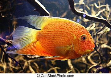 Exotic aquarium fish - Orangel fish discus at home aquarium.