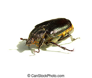 exotic beetle -  brown exotic beetle on white