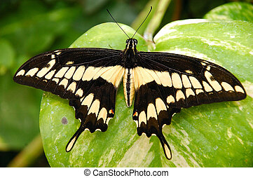 Exotic butterfly. - An exotic butterfly on a leaf.