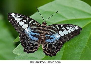 exotic butterfly