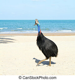 Wild cassowary strolls along the sunny beach at Australia