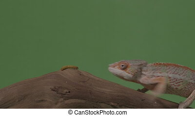 Exotic chameleon and worm both standing on piece of bamboo...
