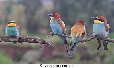 Exotic colored birds sing songs on the branches , wildlife and beautiful colors