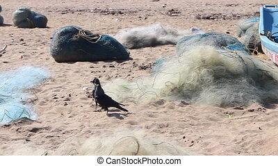 exotic crows walking on beach among fishing nets. two black...
