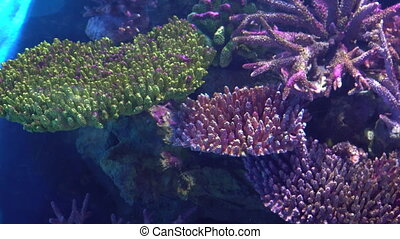 Exotic fish Angelfish float between colorful tropical corals