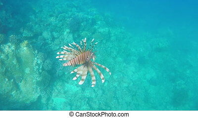 Exotic fish of Red Sea - Pterois miles - Exotic fish -...