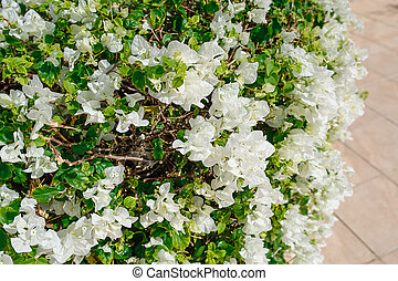 exotic flowers, white bougainvillea in the park