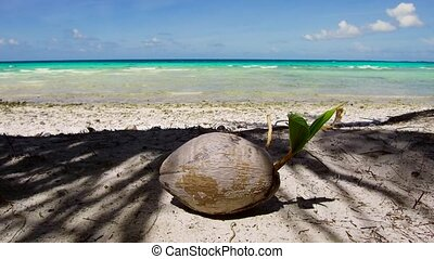 coconut on tropical beach in french polynesia