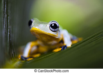 Exotic frog in indonesia, Rhacophorus reinwardtii