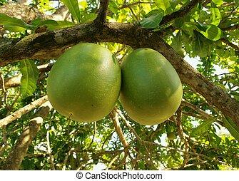 Exotic fruit - Fruit pair on exotic totumo tree