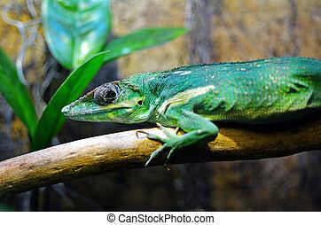 Exotic green lizard Green Anole - Exotic green lizard, Green...
