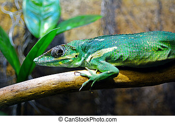 Exotic green lizard Green Anole - Exotic green lizard, Green...