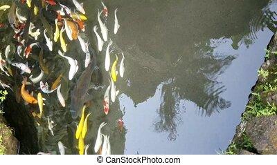 Exotic Koi fish bank. - Bank of exotic Koi fish swimming in...