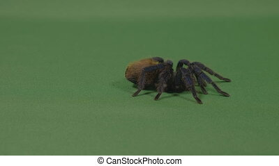 Exotic large tarantula spider crawling on green screen