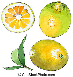 Exotic lemon wild fruit in a watercolor style isolated. -...