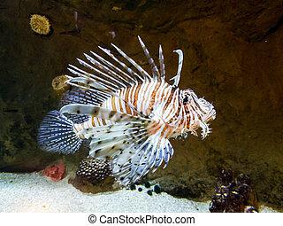 Exotic Lionfish-Zebra swimming in big aquarium