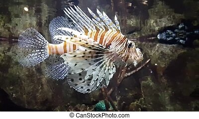 Exotic Lionfish-Zebra swimming in big aquarium - Exotic...