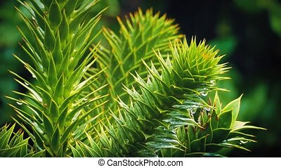 Exotic Monkey Puzzle Tree In Rain - Exotic tree in a rain...