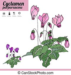 Exotic plant Cyclamen isolated on white background. Tipical room plant grown indoors for home decoration. Various color.