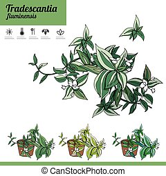 Exotic plant Tradescantia isolated on white background. ...