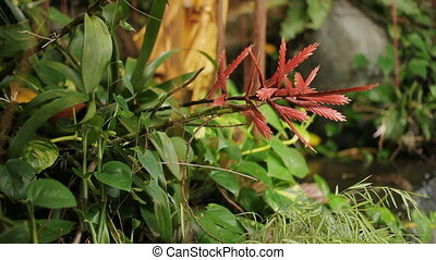 Exotic plant with red leaves. Close up video. Thailand.