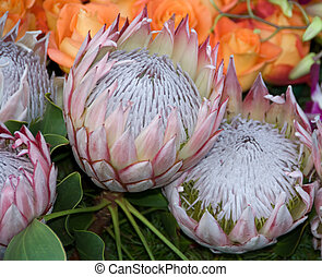 exotic rare hawaii Pink White Protea King Flower