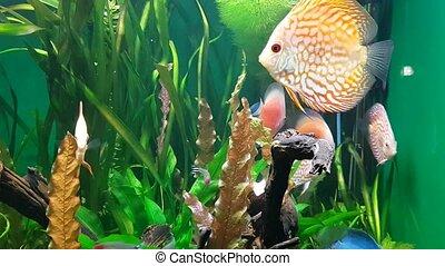 Exotic saltwater fish swimming in a big aquarium. Tropical...