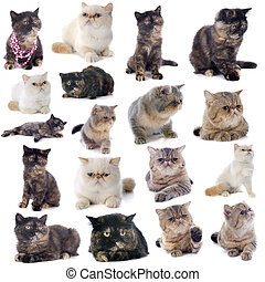 exotic shorthair cats in front of a white background