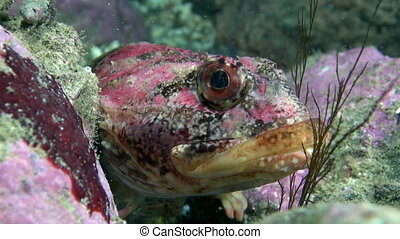 Exotic spotted red fish underwater on seabed of Barents Sea....