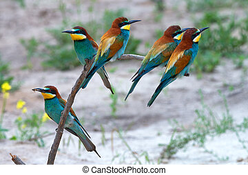 Exotic tropical birds - Group of European bee-eater or...