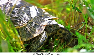 Exotic turtle hiding in grass - Brown turtle hiding in grass...
