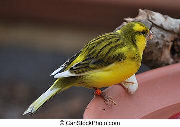 Exotic yellow bird feeding