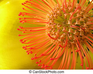exotica - photograph of an exotic red flower against a...