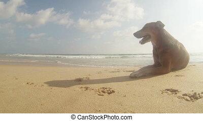 exotique, chaud, plage, chien, errant