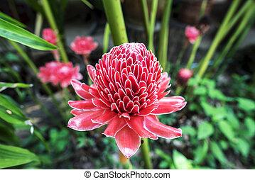 etlingera fleur elatior rouges image recherchez photos clipart csp9067437. Black Bedroom Furniture Sets. Home Design Ideas