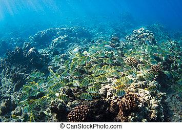 exotique, hawaï, récif