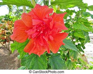 exotique, hibiscus, fleur, dans, fleur pleine