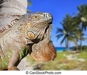 exotique, mexicain, plage, antilles, iguane