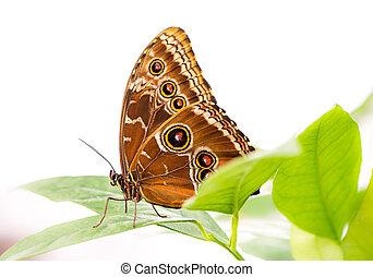 exotique, papillon, commun, morpho